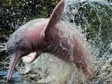 Пресноводный амазонский дельфин Иния