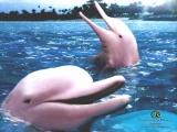 Амазонский дельфин Иния